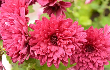 Photograph of cushion chrysanthemums