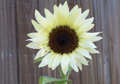 White Sunflower