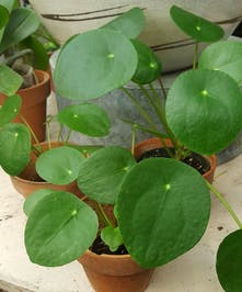 A desirable, easy to care beautiful plant.  Also known as the Chinese Money Plant or Pancak