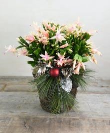 Blooming in time for the holidays, our Christmas catus is trimmed for the holidays with pinecones, branches and berries in a natural basket.  Lovely branches bend as flowers bloom.