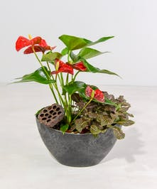 Vivid heart shaped anthurium flowers bloom create interest in this tropical desk garden accented with natural elements and companion plant.