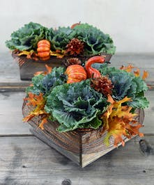 A tribute to the autumn season featuring a garden of ornamental kale accented with pumpkins and fall leaves for seasonal interest planted in a natural wooden container.