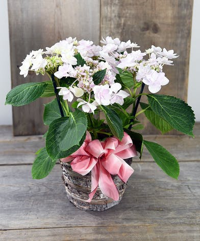 Hydrangea Basket Delivery Bay Area (CA) Same-day Delivery