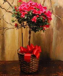 An Azalea topiary really makes a bold statement. Blooms, buds and blossoms are abundant and very eye catching. Presented in a wicker basket accented with a bow.