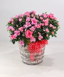 Beautiful blooming Azalea plant full of blossoms, a perfect gift!  Beautiful blooming Azalea plant full of blossoms, a perfect Valentine gift!