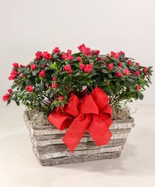 A profusion of ruffled blooms with our double azalea basket will add a smile to someone's day.
