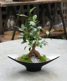 A ficus bonsai with grafted exposed roots with a display of glossy foliage.  It's the perfect gift!   This is an indoor plant.