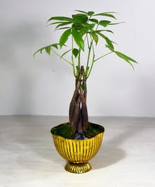 The money tree plant is commonly used in feng shui for positive feelings and attract prosperity to the owner. Planted in a shimmering gold finished bowl.  This easy-to-grow plant prefers indirect sunlight.