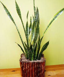 A bold plant perfect for a corner or area with a small footprint.