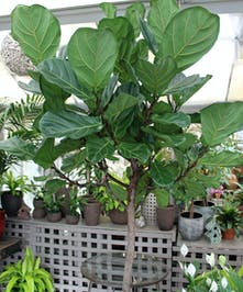 Ficus Lyrata, also known as Fiddle-Leaf Fig has large violin shaped leaves on an upright tall plant.  Our designers will select an appropriate decorative container.