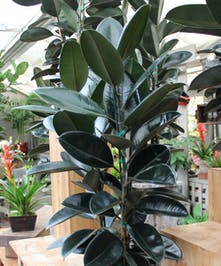 Indoor ornamental plant with attractive broad shiny black reddish leaves. Our designers will select an appropriate decorative container.