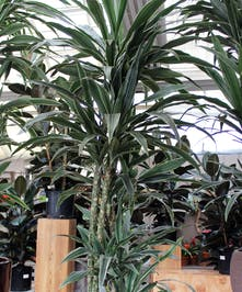 An attractive indoor columnar plant.  Dark green leaves edged with white stripes.