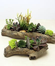 Dream on to be you with this unique succulent garden in a faux log shaped vessel.