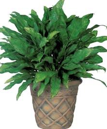 Chinese Evergreen
