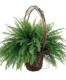 Boston Fern with Willow Accents