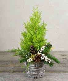 Add merry to someone's desk or a side table where the tree needs to be a little smaller than usual. Our living cypress tree decorated in holiday decor  will share spirit of the season just about everywhere!
