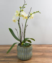 Elevate a thank you or a gift with an elegant phaleonopsis orchid and succulent and natural accents.  Featured in a geometric design ceramic vessel.