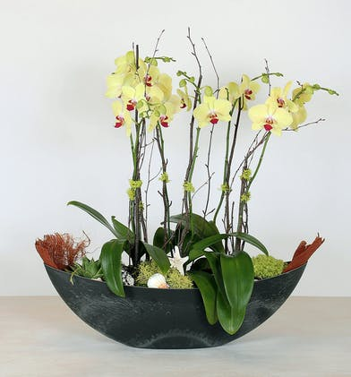 We have added an island touch to our Orchid Planter. Phalaenopsis orchids planted in a crescent container accented with moss and seashells.