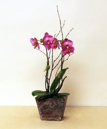 An elegant, miniature phalaenopsis Orchid Plant, set in a wooden box planter.