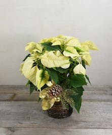 Beautiful poinsettia, a perfect gift for home or office presented in a basket and holiday trim.