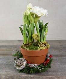 Blooming Amaryllis Plant