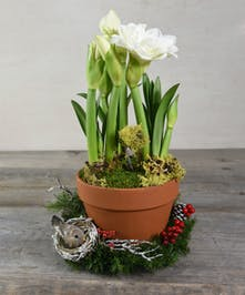 Trumpet-shaped elegant blossoms easily elevate the spirit of the holidays with the amaryllis plant.  Perfected by cheerful embellishments with moss and branches in an organic terracotta vessel.
