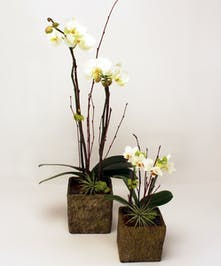A classic Phalaenopsis Orchid delivered in various yet elegant containers. Brighten their day with one of these beautiful gifts.