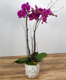 Blooming Phaleonopsis Orchid Plant